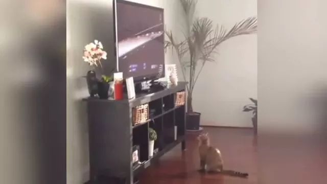 Cats are swaying while watching racing on the big screen TV