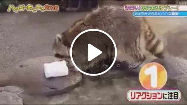 Raccoon Is Surprised Not To Know Sugar Candy Disappears - Video & GIFs | Raccoon, surprised, unaware, candy sugar, vanished, animal, funny