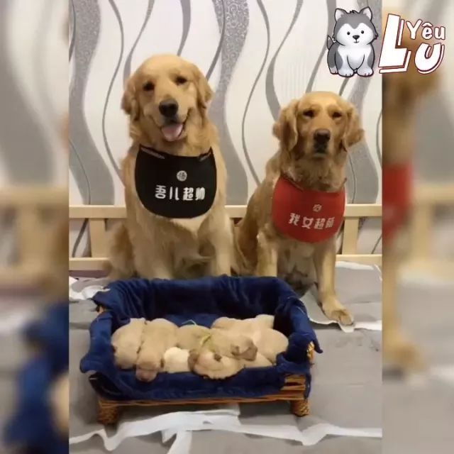 Family of golden retrievers, lovely puppies