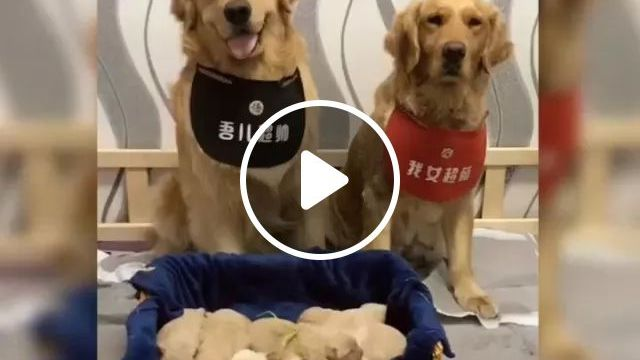 Family Of Golden Retrievers, Lovely Puppies - Video & GIFs   family, of, golden retrievers, lovely puppies, adorable, friendly