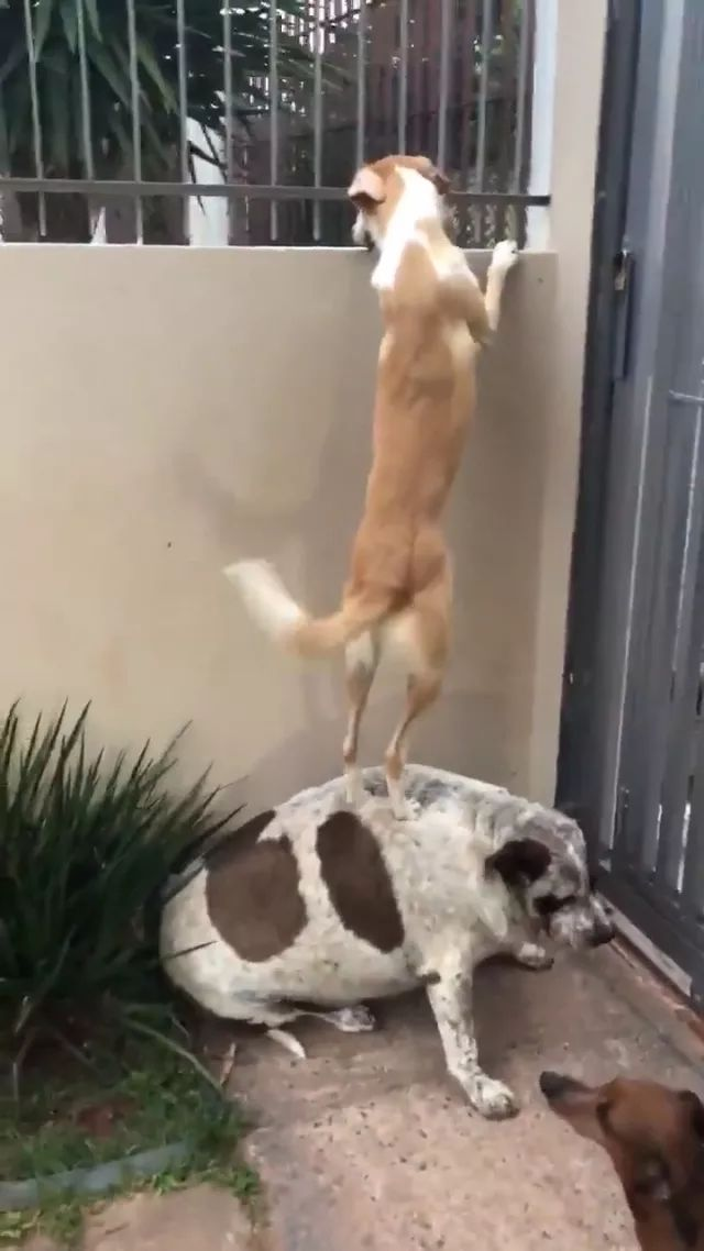 Fat dog helps yellow fur dog stand on his back to communicate with another dog through fence