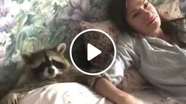 Raccoon Is Friendly To Humans - Video & GIFs   raccoon, animals, pets, friendly, people, pet care, health
