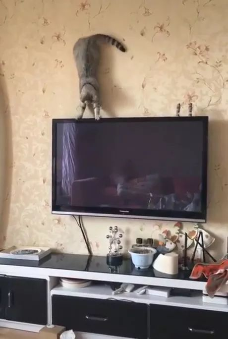 In living room,cat practices yoga on a luxurious television to protect health