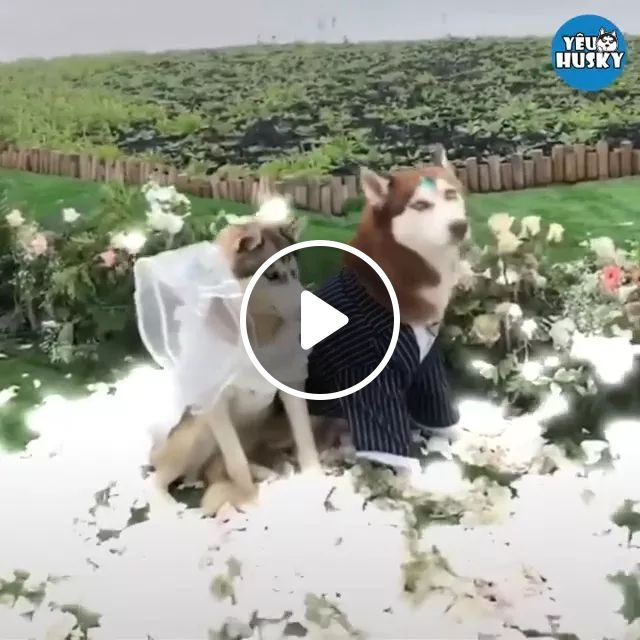 Many Guests Were Invited To Wedding Of Two Dogs. - Video & GIFs   animals, pets, dogs, dog breeds, wedding ceremonies, guests, fashion men and women, shooting, high definition, resort