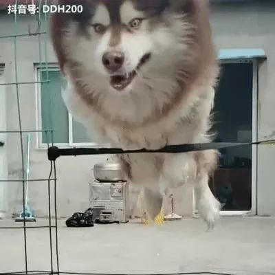 Giant dog tries to jump over high
