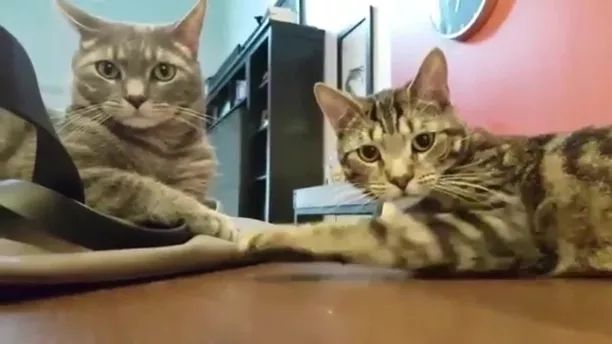 Cats are waiting for food in dining room - Video & GIFs   cats,cat breeds,animals,pets,dining rooms,dining room furniture