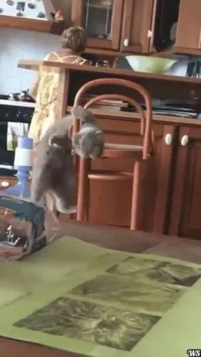 cat tried to climb on the chair inside kitchen