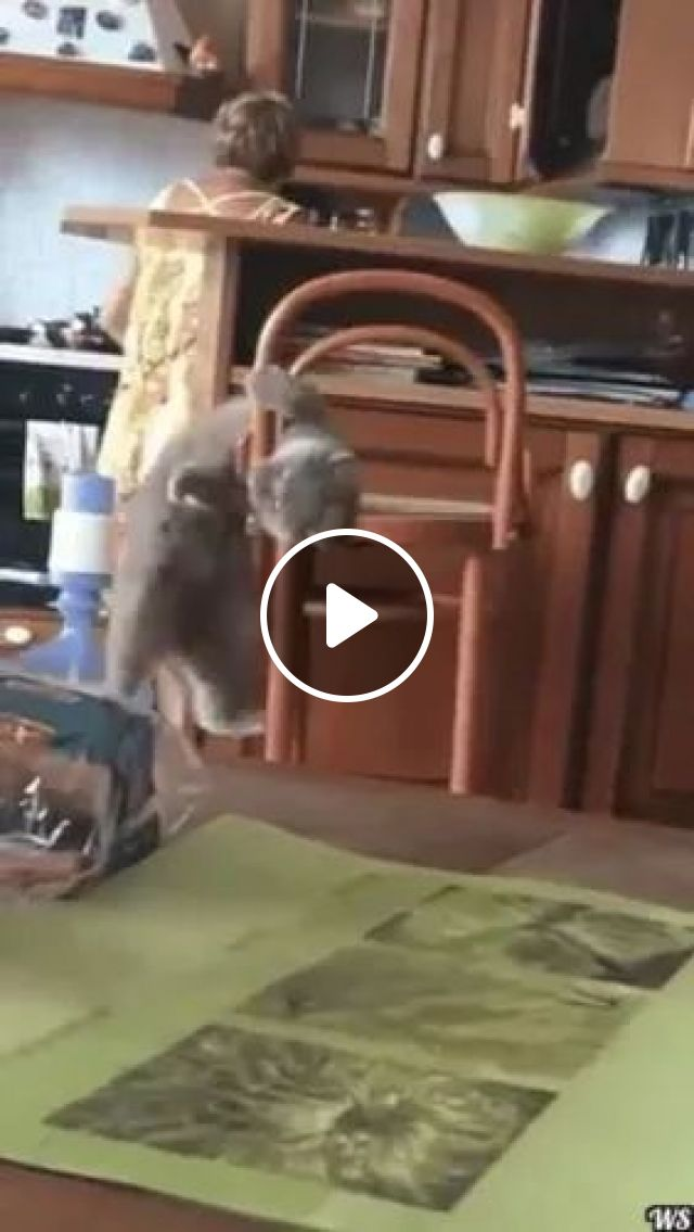 Cat Tried To Climb On The Chair Inside Kitchen - Video & GIFs | cats, cat breeds, animals, pets, kitchens, women, kitchen tools, cooking tools