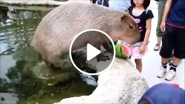 Capybara Dropped A Watermelon When Tourists Gave It - Video & GIFs | capybara, watermelon, tourists, men and women fashion, Denmark travell