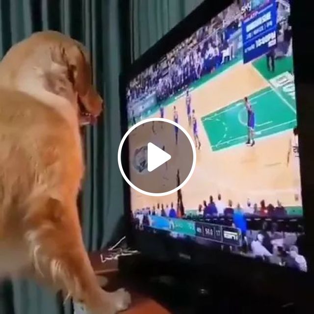 Dog Loves Wide Screen TV In Living Room - Video & GIFs   animals, pets, dogs, dog breeds, big screen tv, television technology, living room