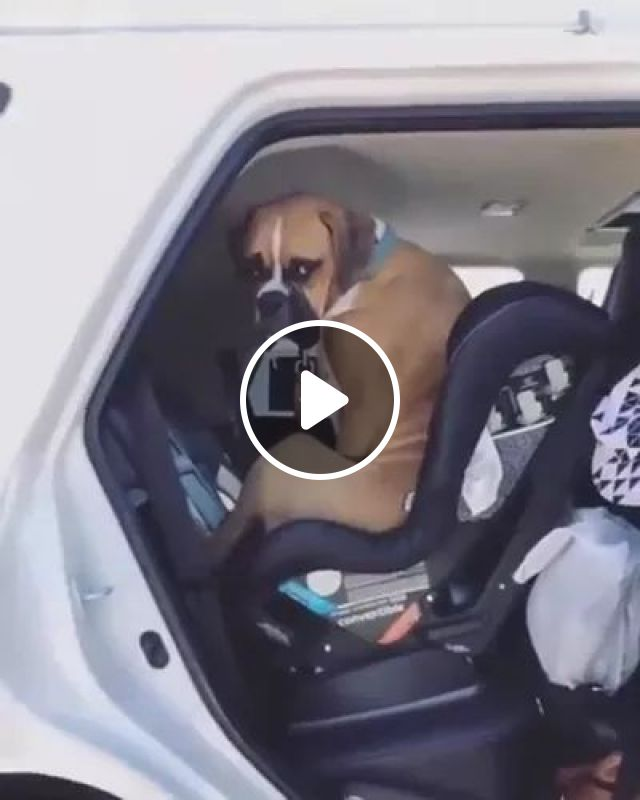 Dog Is Happy To Sit On The Car To Travel - Video & GIFs   animals, pets, dogs, dog breeds, luxury cars, luxury vehicles, Switzerland travel