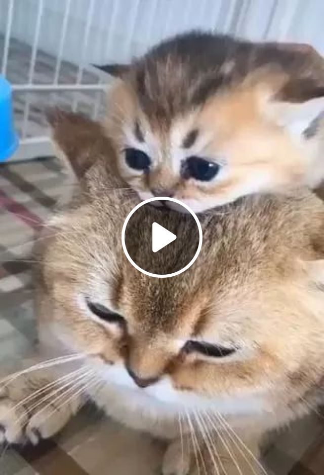 Lovely Kittens Lying On Her Mother's Head In Living Room - Video & GIFs | kittens, cat breeds, animals, pets, lovely, living room, luxurious furniture