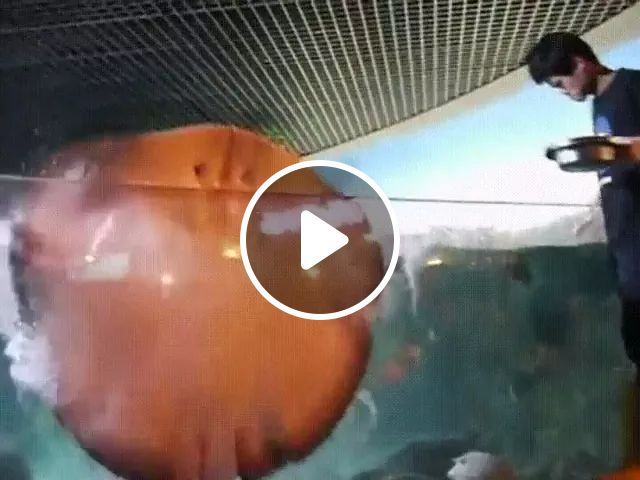 Stingray is very happy when swimming in fish tanks