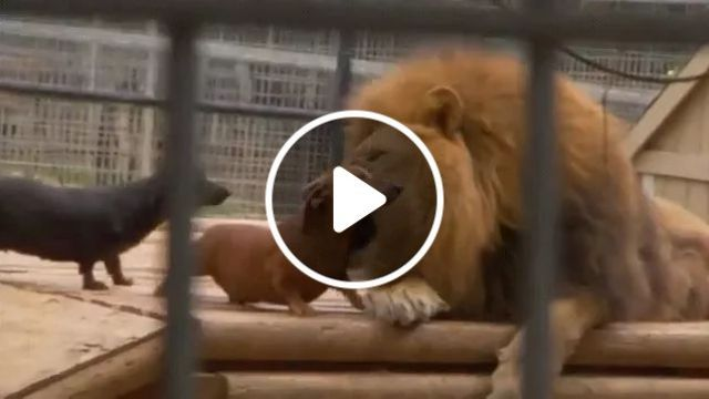 In Parks, Dogs And Lions Are Friendly - Video & GIFs | in parks, dogs, adorable, lions, very friendly, wild animal