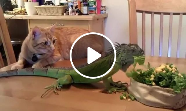cat was surprised to see lizard eating vegetables in kitchen, Cats, adorable, pets, animals, lizards, kitchens, luxurious furniture, kitchen appliances, kitchen appliances