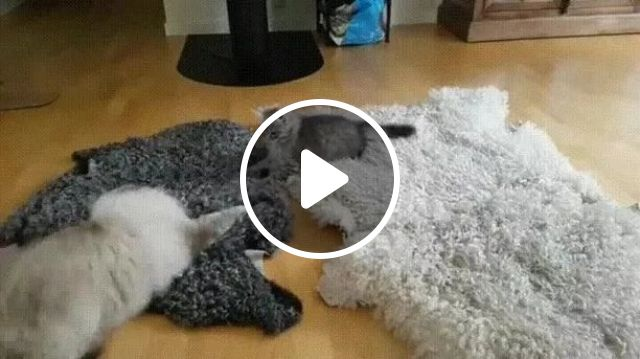Cat mother and kitten are playing on the carpet