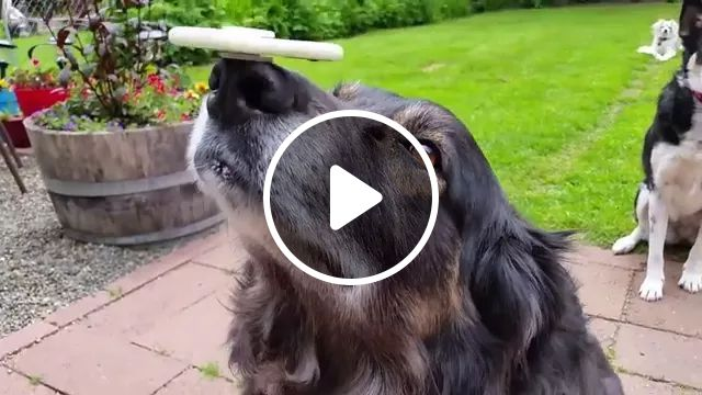 In yard, talented dog balances spiner on his nose