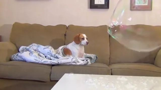 In house, dog sits on the sofa and does not care about giant bubble