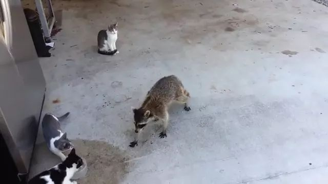 In yard, Raccoon takes food from cat looking very adorable