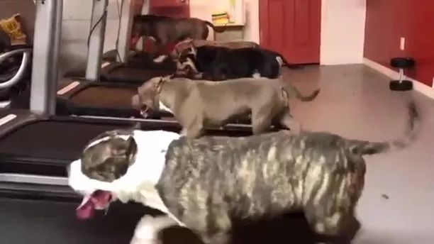 Dogs run on treadmill to protect their health - Video & GIFs | dog, running, adorable, pet, treadmill, health protection, health care, weight loss
