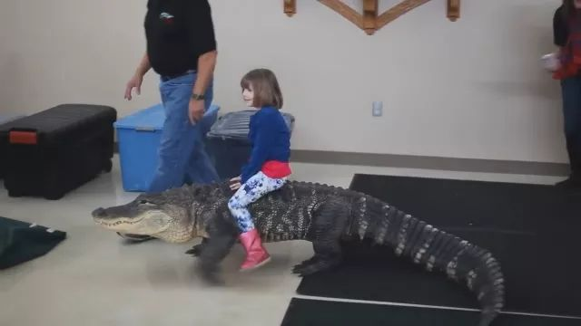 Crocodile participates in a baby's birthday party