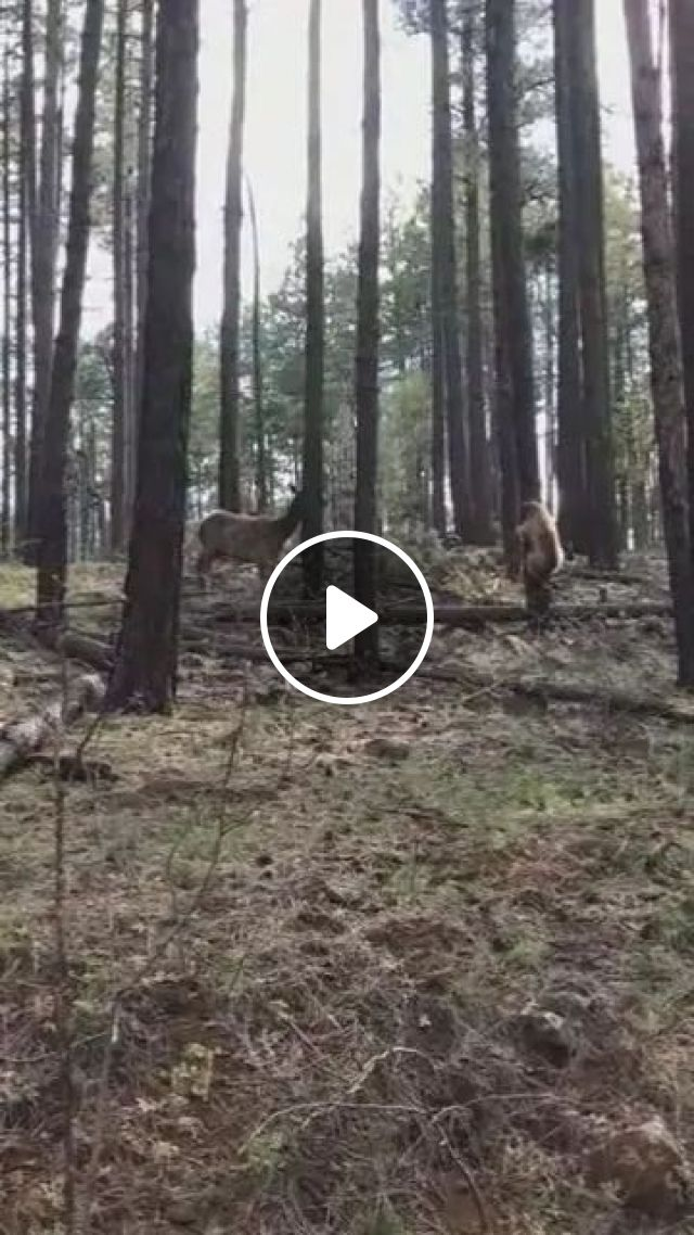 In forest, mother deer save deer from bear, Wild animals, smart animals, jungle