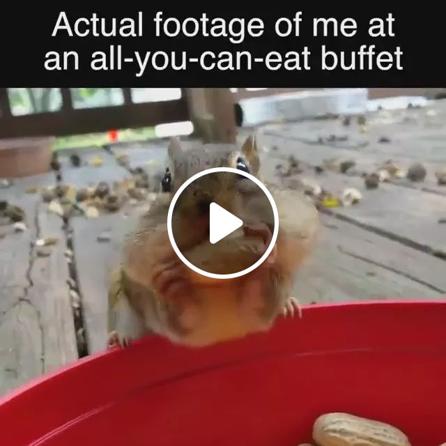 Actual footage of me at an all you can eat butfet, Cute squirrels, funny animals, animal food