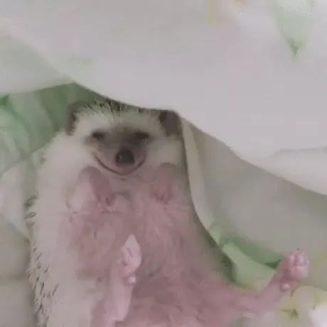 sleeping porcupine is lovely