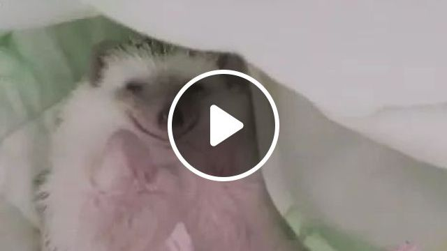 sleeping porcupine is lovely, porcupine, adorable, sleeping, laughing, in bed, pet