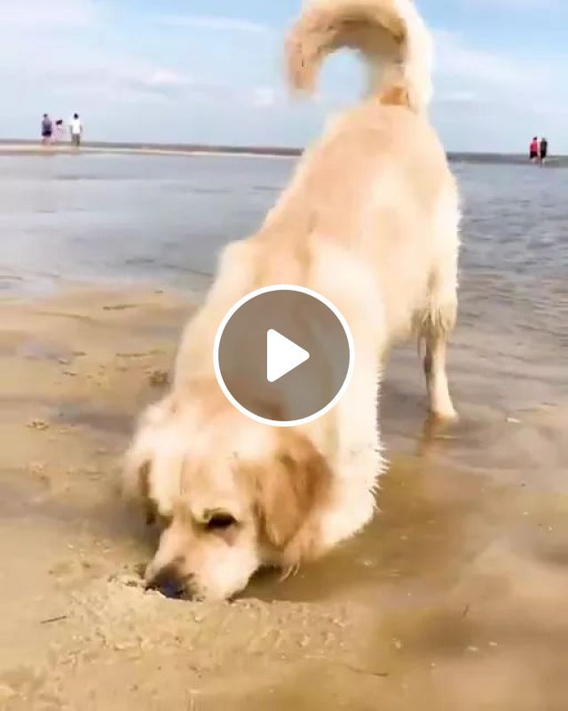What are youlooking for, Golden retriever dogs, friendly animals, pets