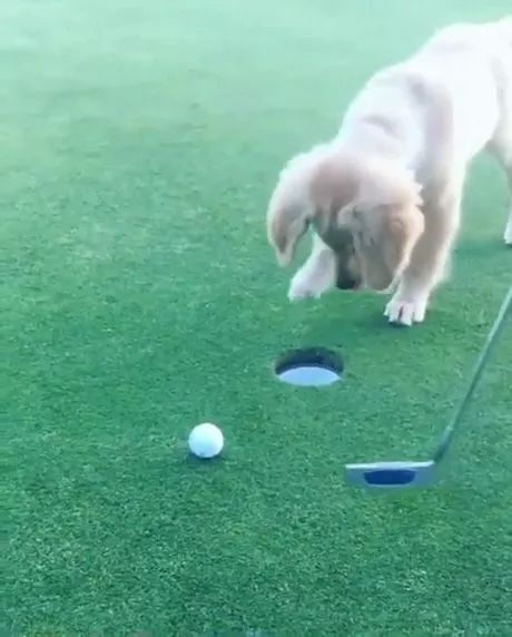 on the golf course, dog moves ball into hole