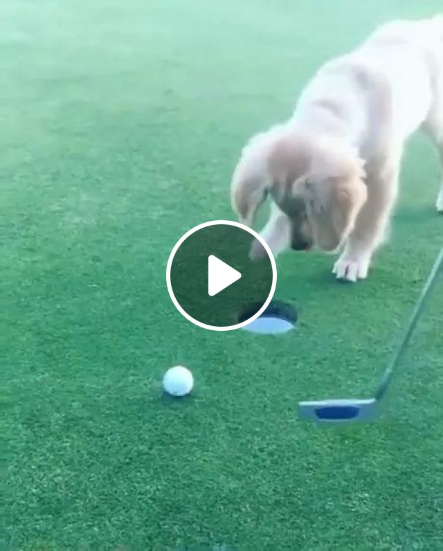 on the golf course, dog moves ball into hole, dog, golf, golf clubs, talent, ball, performance, smart