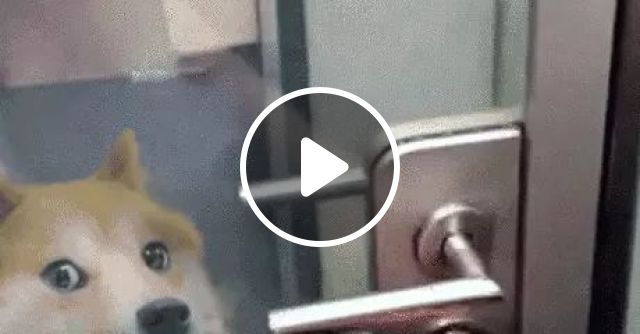 dog is very fast at kitchen glass door, Cute dog, golden dog, very fast speed, kitchen glass