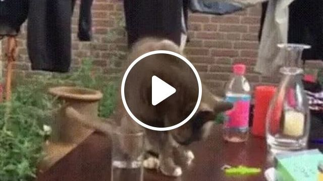 Smart cat drinking water on the table, Smart cats, drinking water, wooden tables, funny animals
