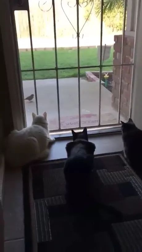 haha cats are watching bird, startled when dog approaches