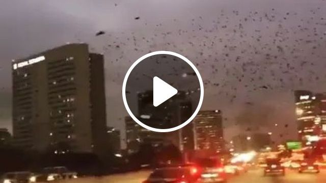 giant flock of birds flying through streets reduced visibility of cars, migratory birds, modern cities, luxury cars, American streets