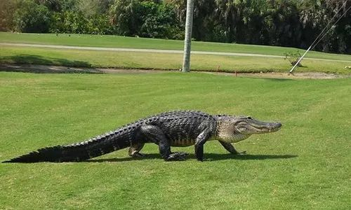 Crocodile goes on golf course grass