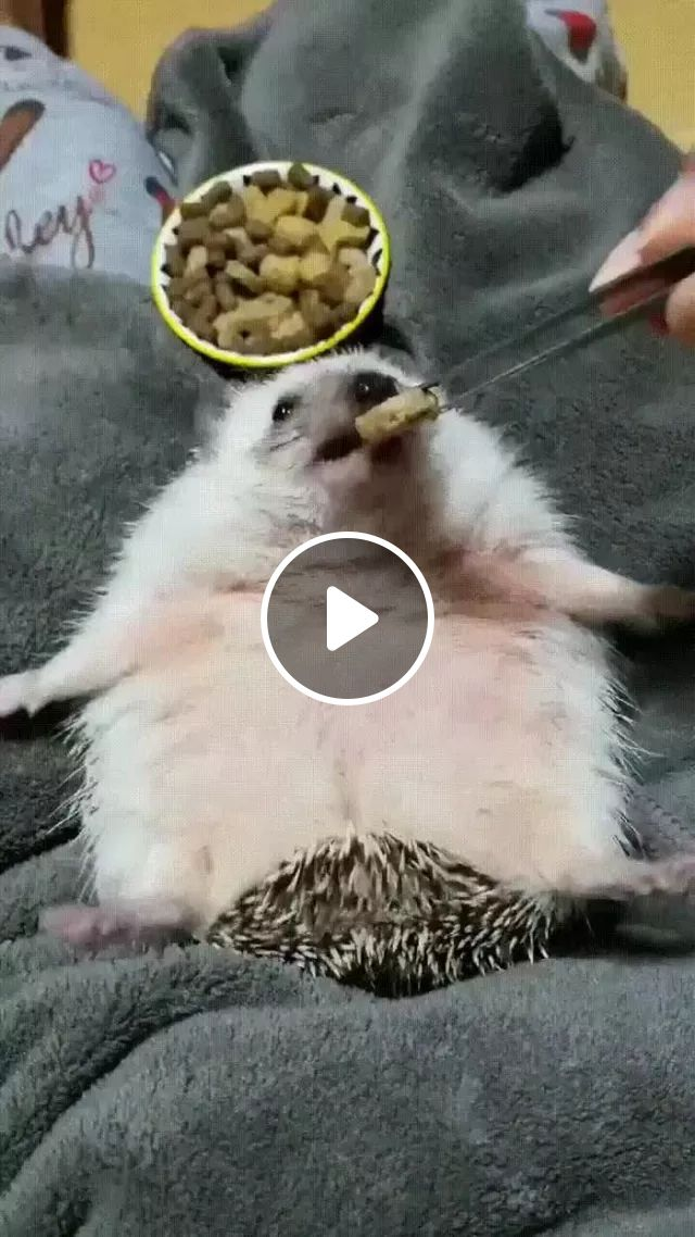 Hedgehogs are fed and cared for very well, Cute hedgehog, animal feed, animal care