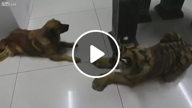 In house,dog and tiger are friends, Luxury house, smart dog, friendly tiger, animals, pets