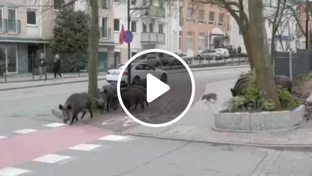 Wild Pigs walking peacefully in streets