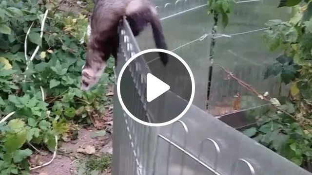 Mink are trying to cross fence, smart mink, iron fence, funny animals, Japanese zoo