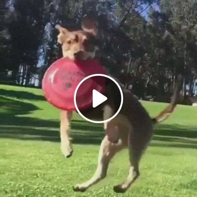 talented dog jumped up and held plastic plate, dogs, high jumps, performances, animals, pets
