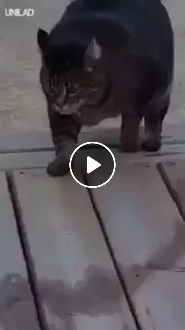 giant cat ran home when it was time to eat