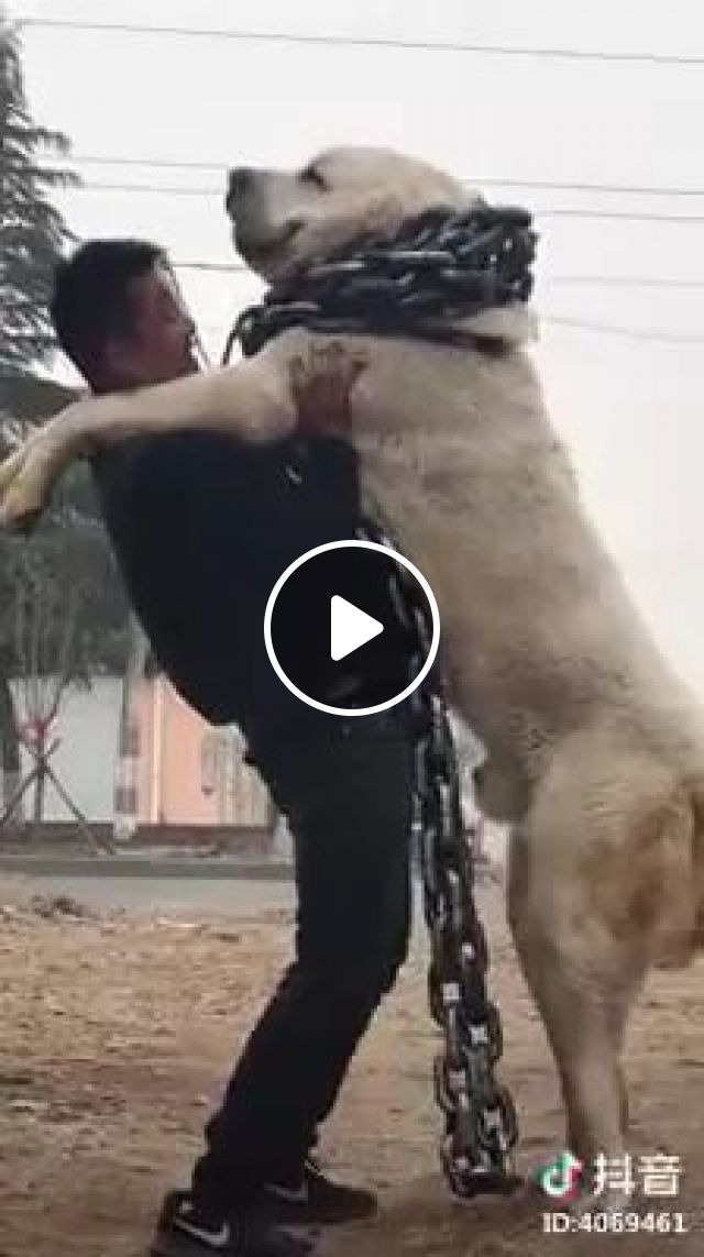 A Man Is Standing With Giant Dog With A Plastic Chain - Video & GIFs   man, standing, giant dog, with plastic, pet chain, pet dog accessory